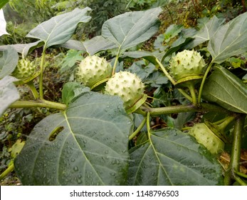 White flowers and fruits of Datura alba or Thorn Apple, Apple of Peru, Green Thorn Apple, Hindu Datura, Metel. SOLANACEAE.