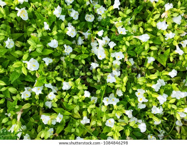 White flowers with green leafs in the garden, copy space, natural