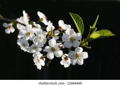White flowers and green leaves of a cherry on a dark background.