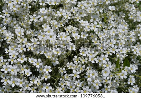 White Flowers Gypsophila Repens Small Delicate Stock Photo Edit Now