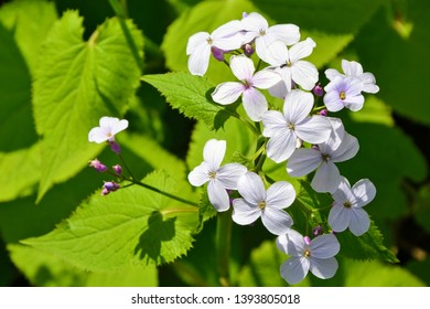White flowers of Hesperis matronalis plant (common names: dame's rocket, dames-wort, dame's gilliflower, night-scented gilliflower, summer lilac). Dame's rocket in the spring, sunny garden