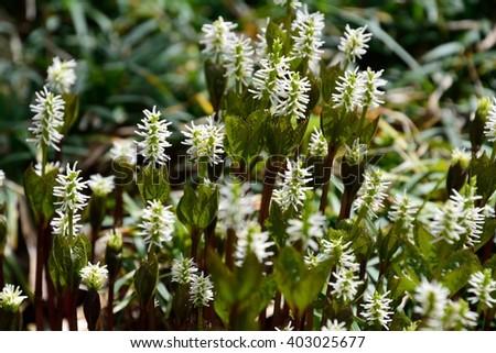 White flowers hitorisizuka japanese scientific name stock photo white flowers of hitori sizuka in japanese scientific name is chloranthus japonicus mightylinksfo
