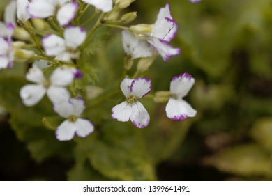 White flowers of a honesty or annual honesty  plant, Lunaria annua.
