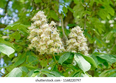 White flowers of the horse chestnut