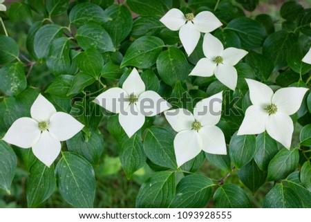 White flowers japanese flowering dogwood shade stock photo edit now white flowers of japanese flowering dogwood in shade in early summer japan mightylinksfo
