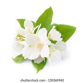 White tea images stock photos vectors shutterstock white flowers of jasmine on the white mightylinksfo