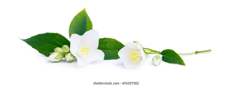 White flowers of jasmine on the white background