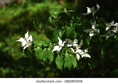 White flowers of  Kousa Dogwood Tree, Cornus Kousa or Benthamidia japonica, in the park.