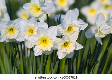 White flowers of Large Cupped Daffodil, White Narcissus 'Ice Follies' (Narcissus hybrid)