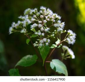 The white flowers of Late-flowering Boneset (Eupatorium serotinum) in the mountains of North Carolina