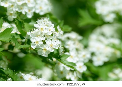 White flowers, leaves and branches of spring hawthorn. Blooming wild hawthorn bush. Medicinal plant.