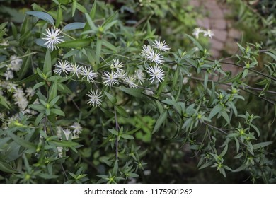 White flowers of lenton grapes (clematis grapefruit, old man's beard, traveller's joy, Clematis vitalba, Ranunculaceae) against the background of the green leaves and stems of aster of the New Belgian