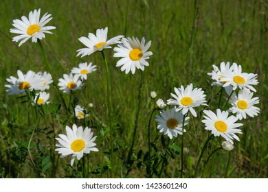 White flowers of  Leucanthemum vulgare, commonly known as the ox-eye daisy, oxeye daisy, dog daisy on the meadow