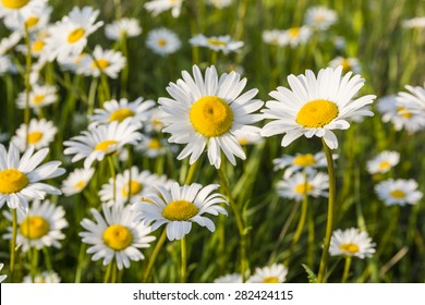 White flowers (Leucanthemum vulgare Lam., ox-eye daisy, oxeye daisy) in the meadow