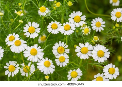 White flowers in the meadow.