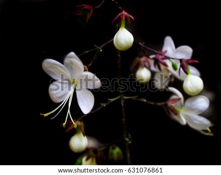 White flowers name nodding clerodendron on stock photo edit now white flowers name nodding clerodendron on black background mightylinksfo