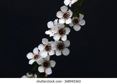 White flowers of New Zealand Maori jasmine, Parsonia heterophylla,