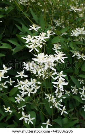 White flowers nonclimbing clematis vine recta stock photo edit now white flowers of non climbing clematis vine recta purpurea mightylinksfo
