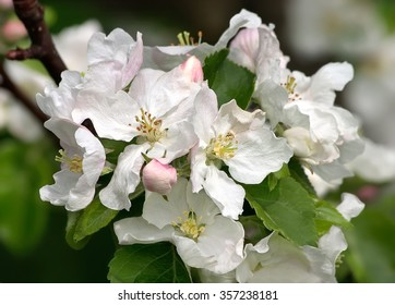 White flowers on apple tree in spring