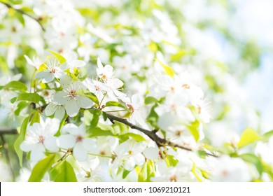 White flowers on a blossom cherry tree with soft background of green spring leaves and blue sky