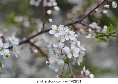 white flowers on branch of apple tree during spring bloom in may
