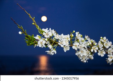 White flowers on a branch at the rising of the moon above the sea with the lunar path. Blue hour. Day of spring equinox.