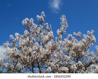 White flowers on branches of cherry tree