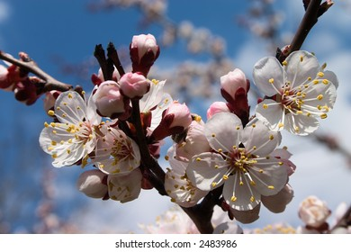 White flowers on the branches of cherry tree