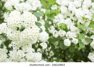 white flowers on the bush