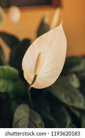 White flowers; white flowers on the garden; copo de leite; flor branca