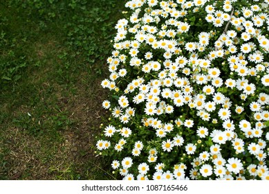 White flowers on the green grass background in the park
