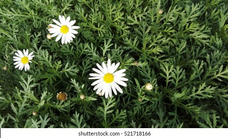 white flowers on green grass. Background.