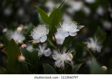 White flowers on green leafy background, Croatia
