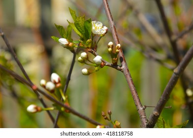 white flowers on a lilac bush, cherry blossom, flowering spring trees, cherries, cherry