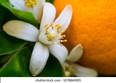 White flowers of orange trees are source of essential oil neroli user in natural perfumery. Closeup of orange flower with orange fruit and green leaves in background