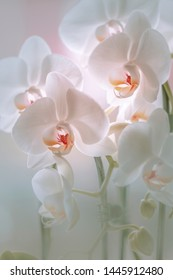 White Flowers - White Orchids (Orchidaceae)