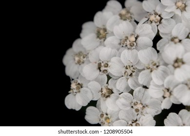 White flowers photograped against black background.