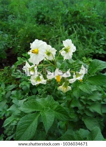 White flowers potato flowering potatoes garden stock photo edit now white flowers of the potato flowering potatoes in the garden potatoes are a vegetable mightylinksfo