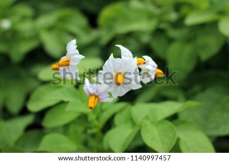 White flowers potatoes flowering bush potatoes stock photo edit now white flowers of potatoes flowering bush potatoes mightylinksfo