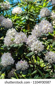 White Flowers of Rhododendron hybrid