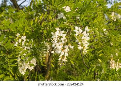 White flowers Robinia pseudoacacia L. (black locust)
