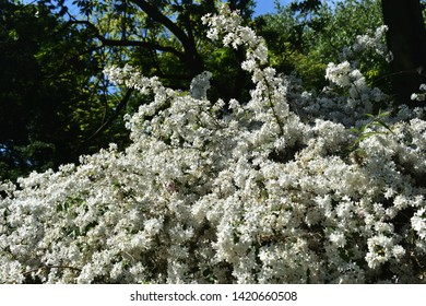 White flowers of Slender Pride Of Rochester (Deutzia Gracilis Nikko), commonly known as a Slender Deutzia, is a plant in the hydrangea family, Hydrangeaceae.