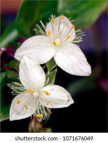 White flowers of Spider wort