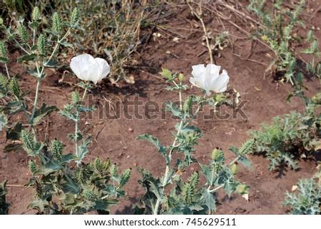 White flowers spiky leaves spiky flower stock photo edit now white flowers with spiky leaves and spiky flower buds growing in roxborough state park colorado mightylinksfo