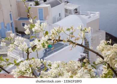 White flowers spill over the walls of Oia on the island of Santorini, Greece