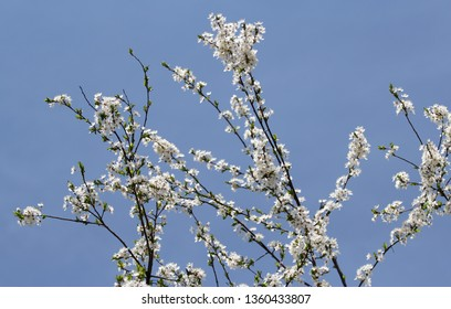 white flowers in spring, cherry