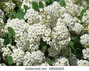 White flowers in spring time closeup