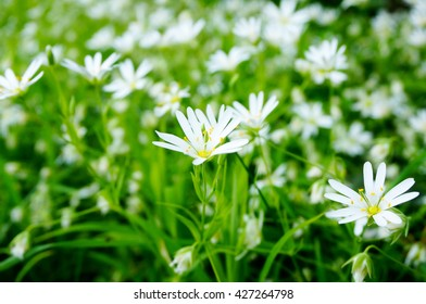 White flowers with sunlight in evening. Spring flowers in forest. Stellaria graminea flower ('common starwort', 'grass-leaved stitchwort' , 'lesser stitchwort' and 'grass-like starwort')