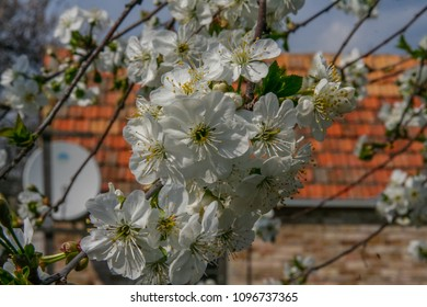 White flowers of sweet cherries in the spring garden. Zaporozhye region, Ukraine.