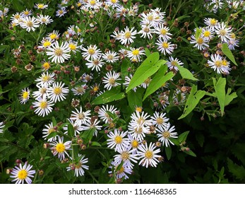 White flowers of Symphyotrichum Species, Hairy Aster, Frost Aster, Hairy White Oldfield Aster, Wild Aster (Symphyotrichum Pilosum)